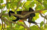 le singe hurleur réintroduit