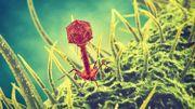 L'hôpital militaire cultive ces phages, qui sont des virus mangeurs de bactéries.