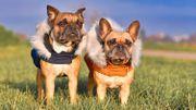 Le manteau pour chien… Bonne idée ou arnaque marketing?