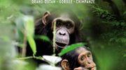 Sur la trace des grands singes menacés, dans la forêt tropicale version musée
