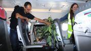 Un koala parmi les passagers d'un vol vers l'Ecosse