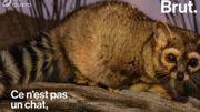 Quel est ce proche cousin du raton laveur?