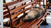 Un lion de mer endormi dans la salle d'embarquement du port de Puerto Ayora (Île de Santa Cruz - Galápagos).