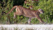 Une panthère de Floride relâchée dans son milieu sauvage. Il en resterait tout au plus 160 individus