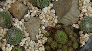 Création de jardinières d'intérieur avec des joubarbres