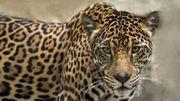 Le mur de Trump, une menace pour les jaguars, dénoncent des défenseurs de l'environnement