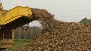 L'an dernier, seuls 30 % des champs de betteraves étaient traités aux néonicotinoïdes