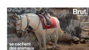 En Grèce, des ânes sont maltraités pour les touristes