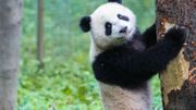 Vidéo Buzz : Le Panda qui se prenait pour un koala