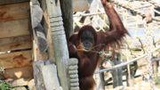 L'orang-outan, une espèce en danger d'extinction