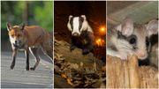 De plus en plus d'animaux sauvages en ville: un blaireau aperçu à Woluwé-Saint-Pierre