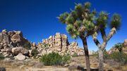 USA: le réchauffement climatique pourrait éradiquer les arbres de Josué d'ici 2100