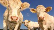 Le saviez-vous? Le cerveau des vaches a rétréci depuis qu'elles ont été domestiquées