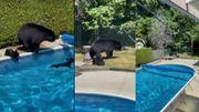 Vidéo insolite: maman ours et ses bébés se baignent dans une piscine privée au Canada