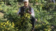 Le mimosa: star des carnavals et trésor de la côte d'Azur