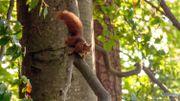 L'écureuil participe aussi au reboisement de nos forêts