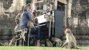 En Thaïlande, le pianiste Paul Barton joue pour apaiser des singes affamés