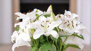 Plante d'intérieur du mois : le lys