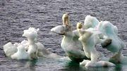 Quel avenir pour ces ours polaires ?
