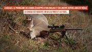 À Gesves, les daims échappés d'un enclos en juin dernier seront tués par les chasseurs
