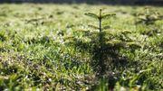 Un Capellois plante des sapins et rend hommage à sa maman