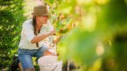Quatre domaines viticoles pour s'essayer aux vendanges