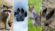 Test : pourrez-vous reconnaître les empreintes des animaux sauvages de nos régions ?