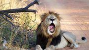 Pourquoi le lion bâille-t-il ?