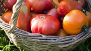 Plantons et cultivons de bonnes tomates: quelques adresses où trouver des semences