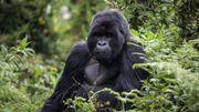 En RDC, la population des gorilles du parc Virunga en augmentation