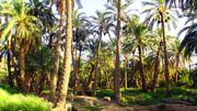 Plus d'arbres que prévu au Sahara et au Sahel, selon une étude