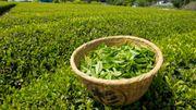 Voyage au pays d'un breuvage ancestral: le thé