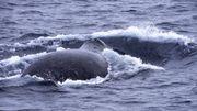 Les baleines boréales, des compositeurs-interprètes prolifiques