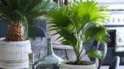 Plante d'intérieur du mois : le palmier d'exception