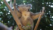 Deux nouveaux koalas à Pairi Daiza