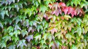 Quelles plantes en guise de brise vue ou en mur végétal de charme? Voici un bouquet d'idées
