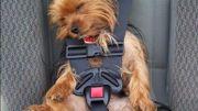 Pensez à bien attacher votre chien en voiture !