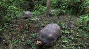 Des tortues dans le jardin botanique de Alberto Gomez à Quindio, le 6 juillet 2020.