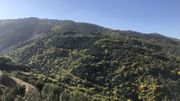 L'hiver, les collines de la Côte d'Azur se couvrent d'or