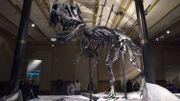 Tristan, T.Rex de 66 millions d'années, débarque pour trois ans à Berlin