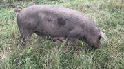 Il fait bon vivre pour les cochons à la ferme bio des Crutins à Vresse-sur-Semois