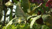 La feuille d'Hellororus Anna's Red se différencie des autres variétés car marbré de rose