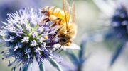 Biodiversité : quels sont ces insectes pollinisateurs et comment les attirer dans nos jardins ?