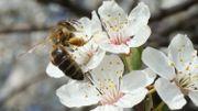 Comment préserver les abeilles sauvages?