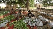 Des travailleurs journaliers examinent des mangues avant de les emballer dans une ferme de Multan (centre).