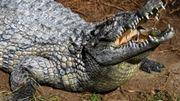 Attaques de crocodiles en Australie: un pêcheur tué, un adolescent blessé