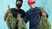 Dans les rues de Managua, la capitale, les vendeurs ambulants ont troqué leurs mangues contre de l'eucalyptus, censé soulager les symptômes du coronavirus.