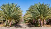 Le palmier-dattier, symbole des civilisations du monde arabe.