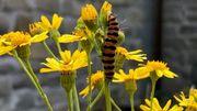 Les plantes indigènes et sauvages : un refuge pour insectes