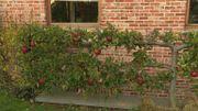 Les pépinières d'Enghien perpétuent la tradition des arbres fruitiers palissés